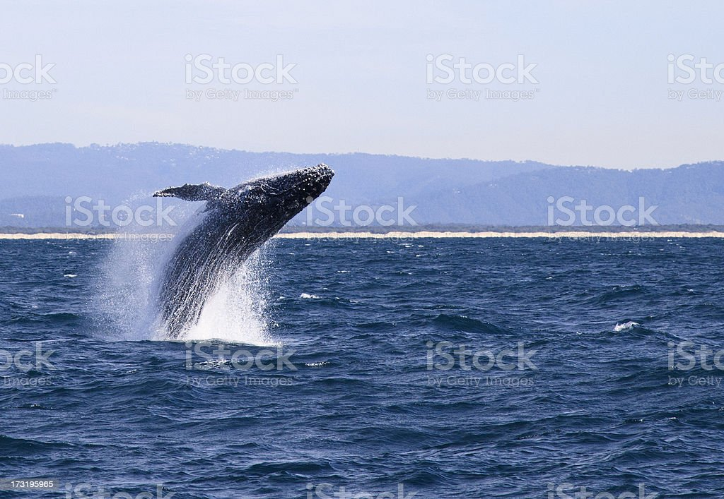 Humpback Whale mid-flight in the ocean stock photo