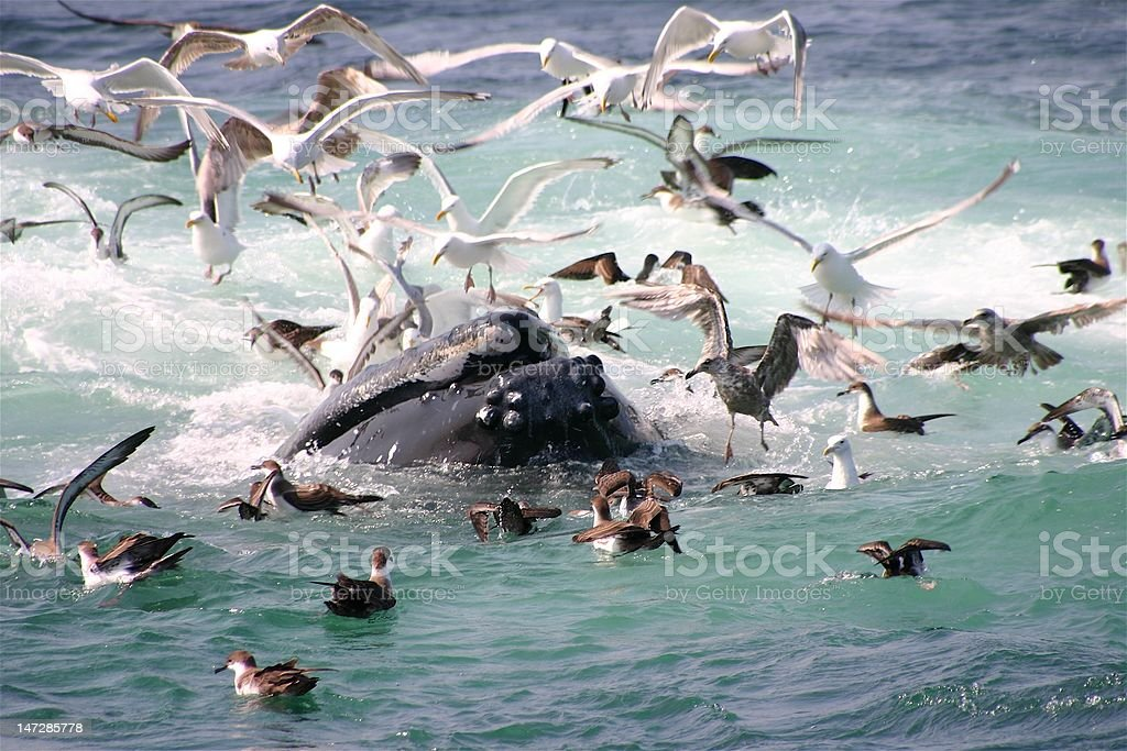 Humpback whale open mouth feeding in Boston Harbor stock photo