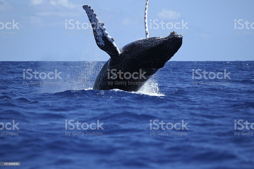 humpback whale royalty-free stock photo