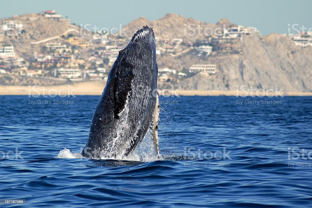 Humpback whale rising from the sea stock photo