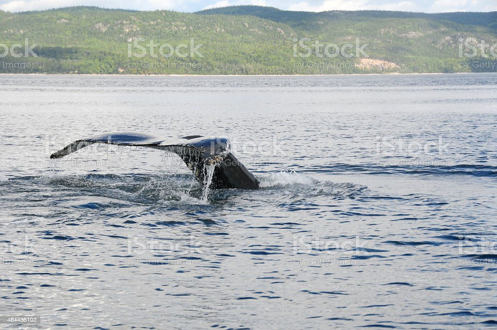Humpback Whale, Tadoussac, Quebec, Canada stock photo