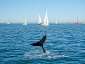 Humpback whale tail and sailing boat on background
