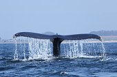 humpback whale tail diving in Monterey bay