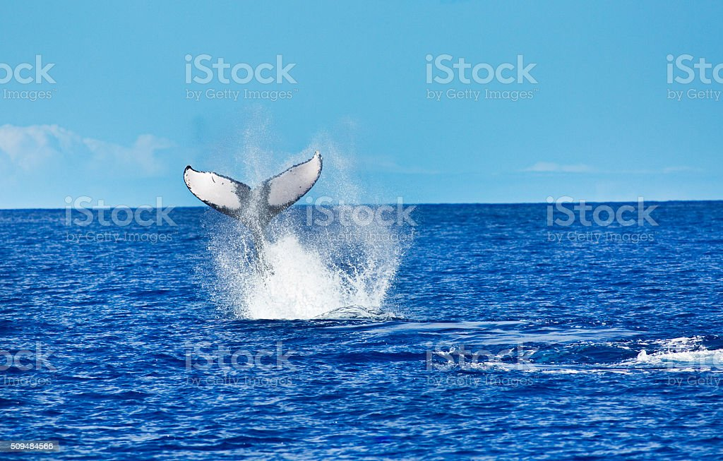 Humpback Whale Tail in the Hawaiian Islands stock photo