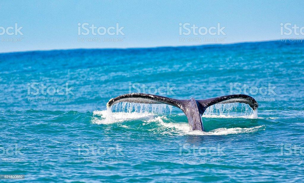 Humpback Whale Tail in the Hawaiian Islands stock photo