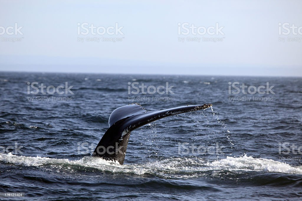 Humpback Whale Tail on St Lawrence River, Quebec royalty-free stock photo