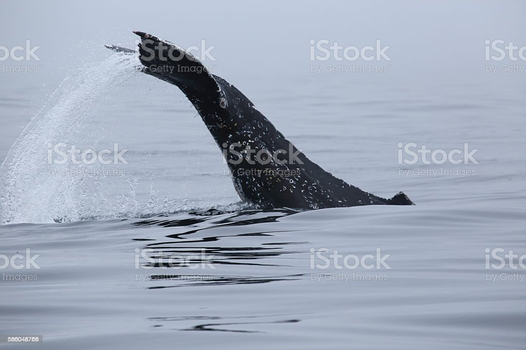 Humpback Whale tail slapping in Monterey Bay California stock photo