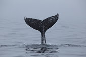 Humpback Whale tail slapping in Monterey Bay California
