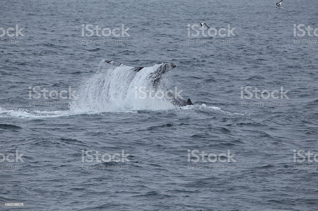 Humpback whale tail slapping stock photo