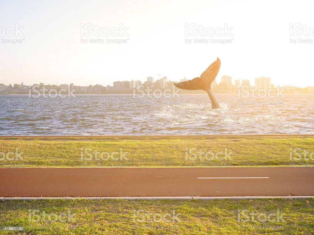 Humpback whale tail waving in the river stock photo