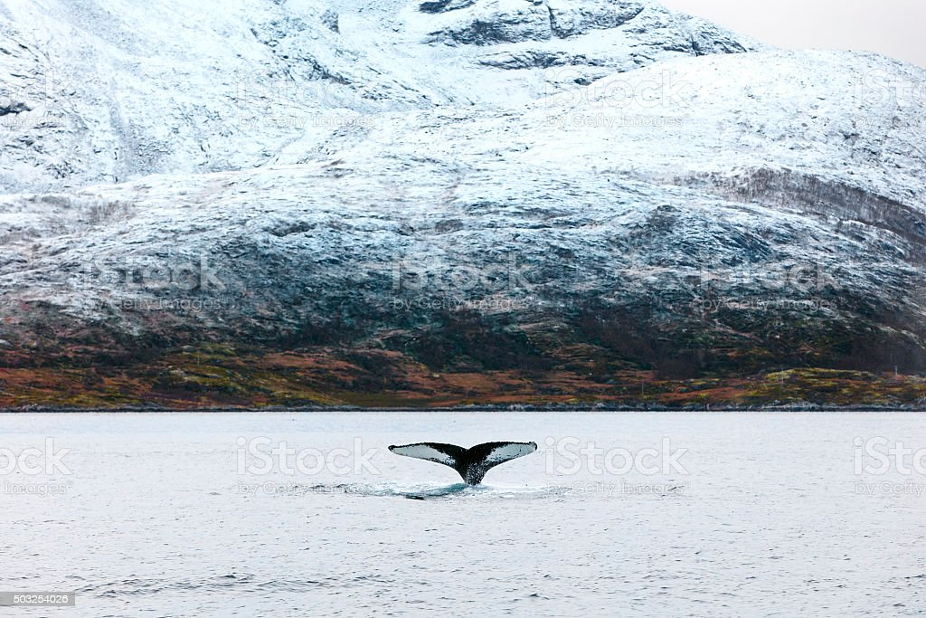 Humpback whale tale fin in the arctic stock photo