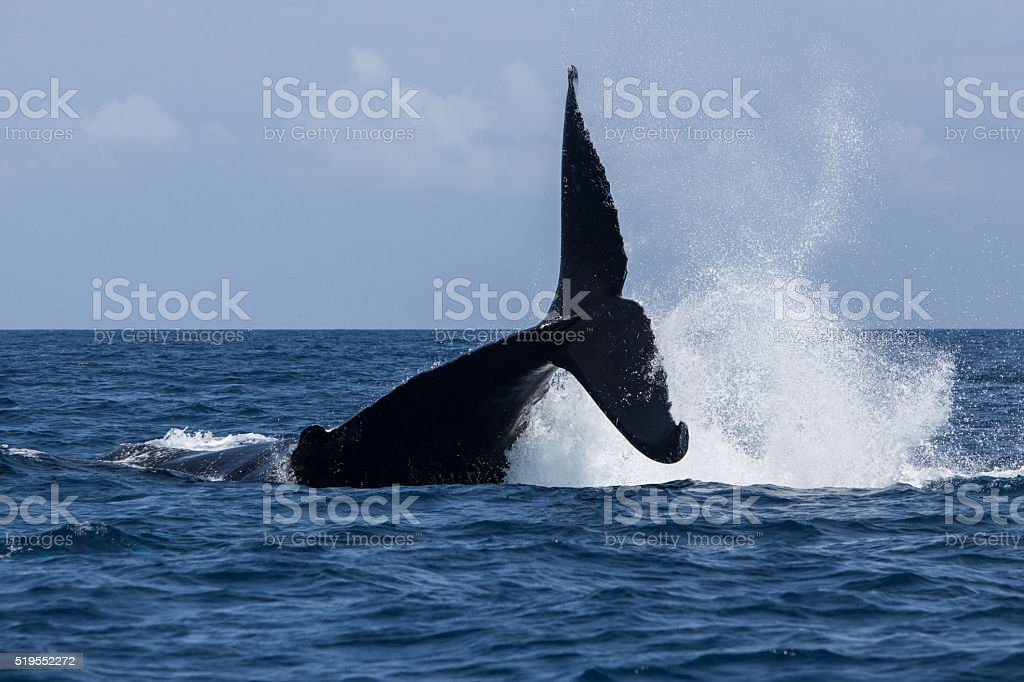 Humpback Whale Tale Lob stock photo