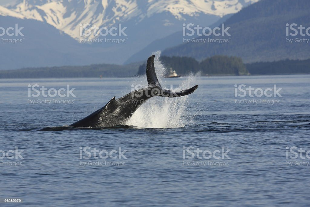 Humpback Whale Watch Alaska Northwest Whalewatch New England Travel Tour royalty-free stock photo