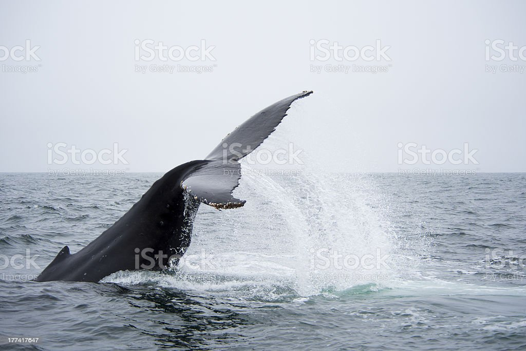 Humpback Whale with Flukes Flying stock photo