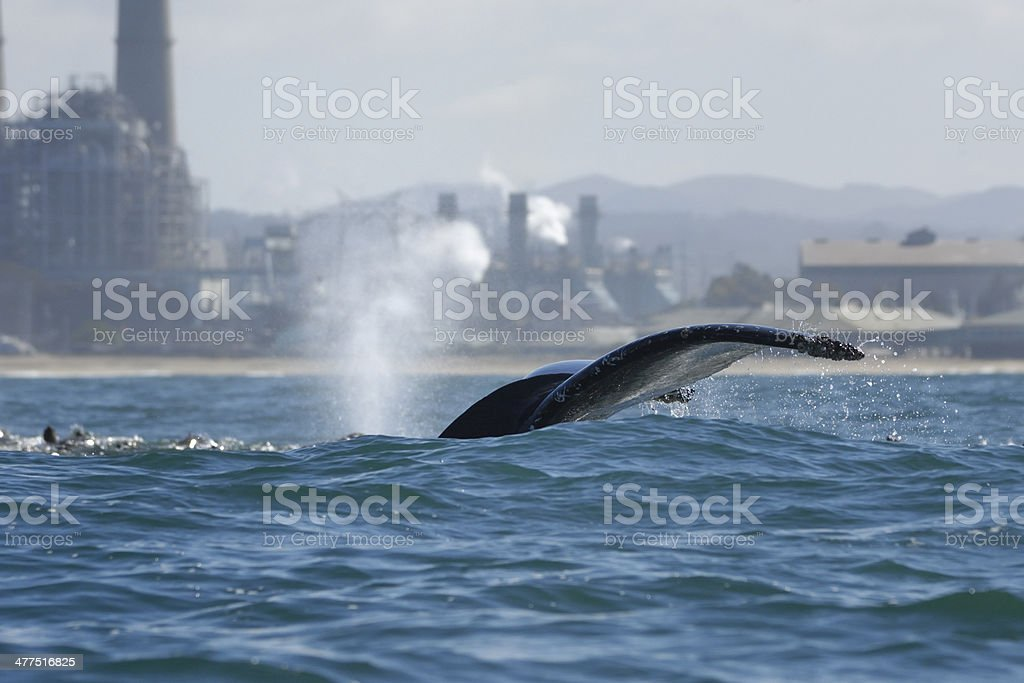 Humpback Whale with Tail Raised and Power Plant in Background royalty-free stock photo