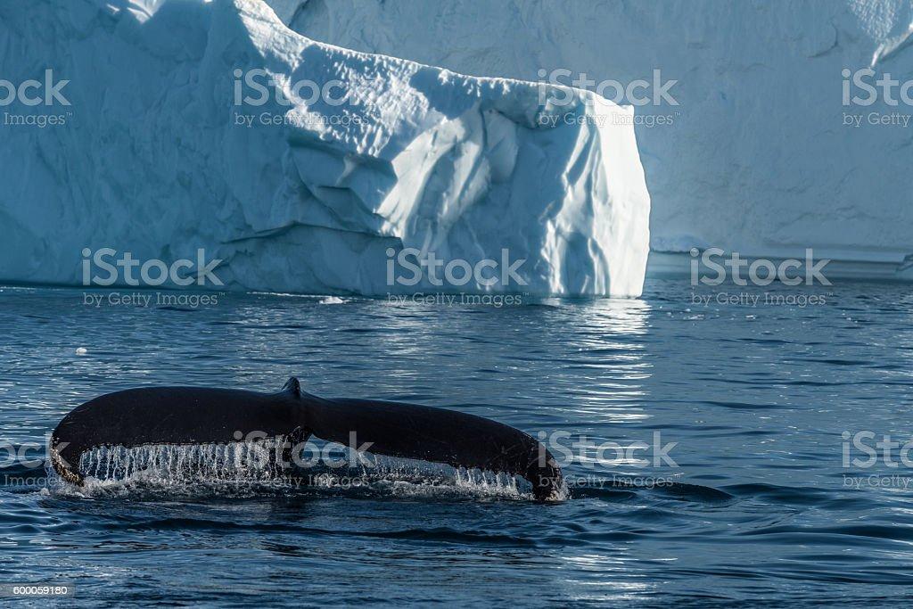Humpback whales feeding among giant icebergs, Ilulissat, Greenland stock photo