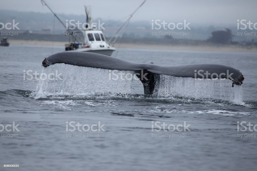 Humpback Whales of Monterey California USA stock photo