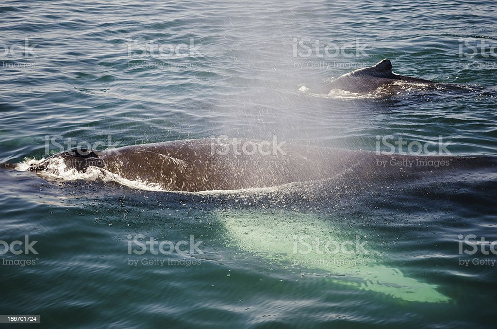 Humpback Whales royalty-free stock photo
