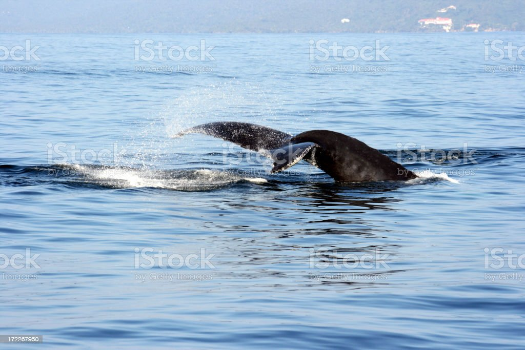 Humpbackwhale royalty-free stock photo