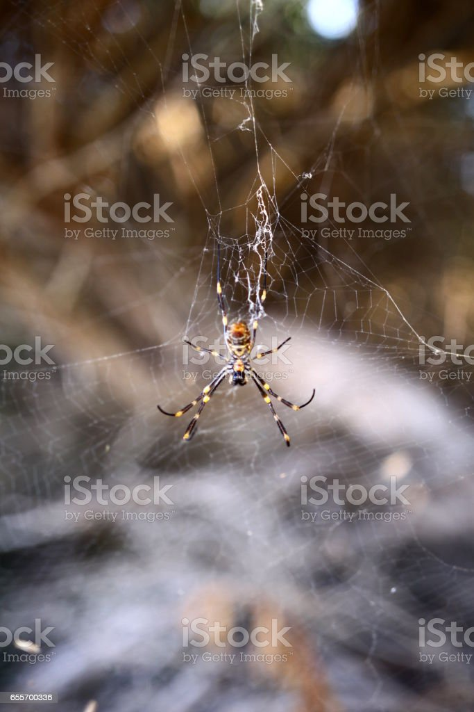 Humped Golden Orb-weaving Spider stock photo
