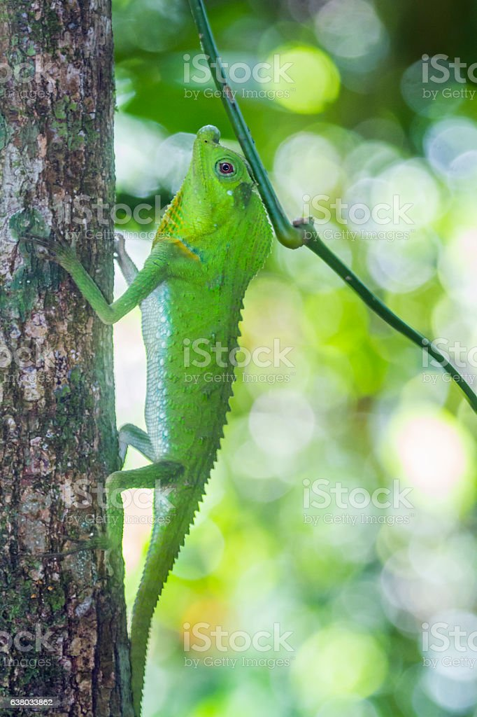 Hump-nosed Lizard in Sinharaja forest reserve, Sri Lanka stock photo