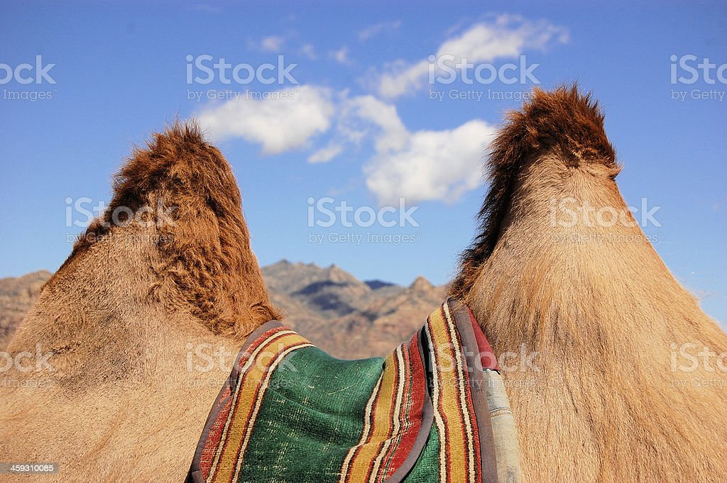 Humps of Bactrian camel near Gobi desert, Mongolia stock photo