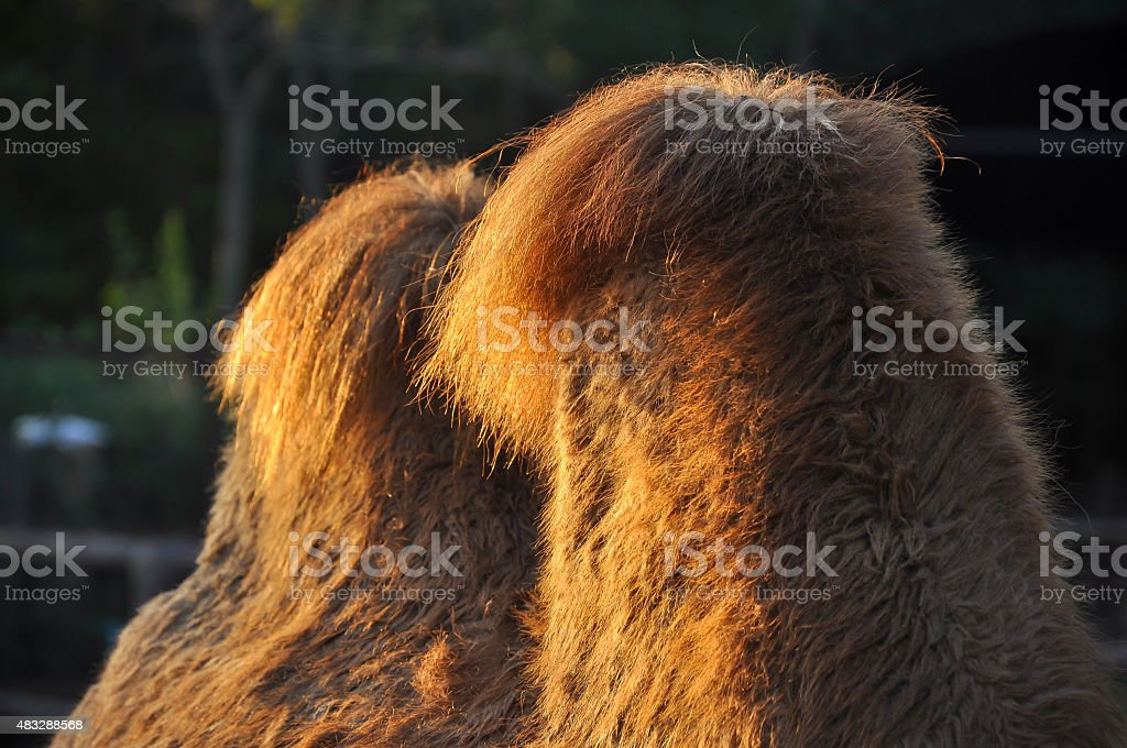 humps on camels stock photo