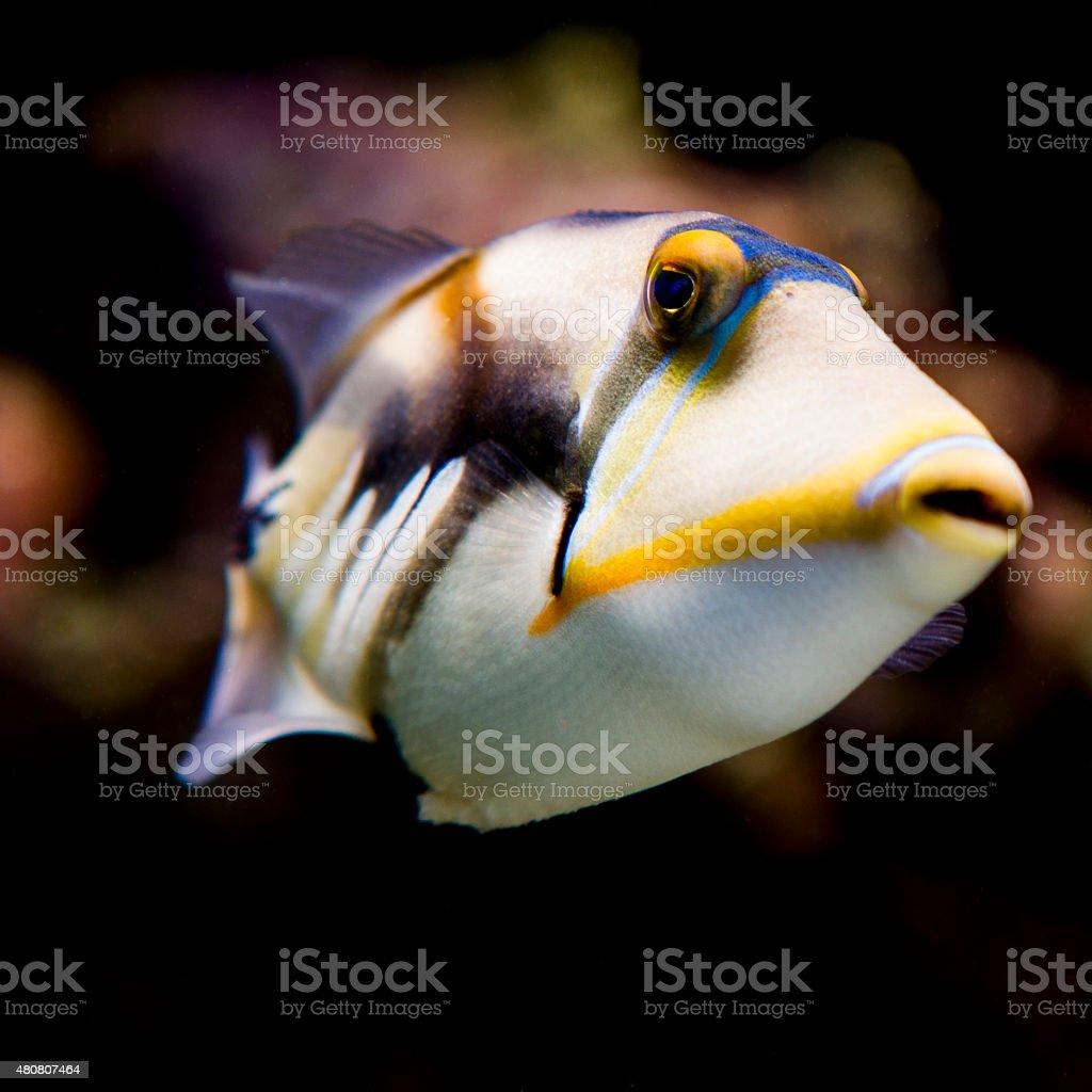 Humu Picasso Triggerfish stock photo