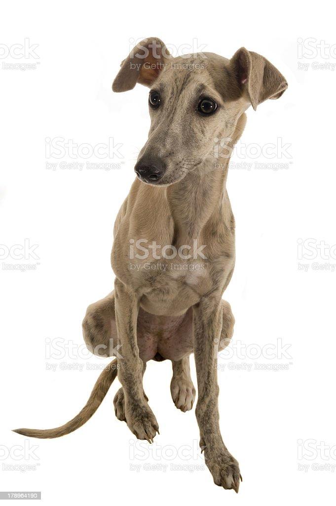 Hund royalty-free stock photo