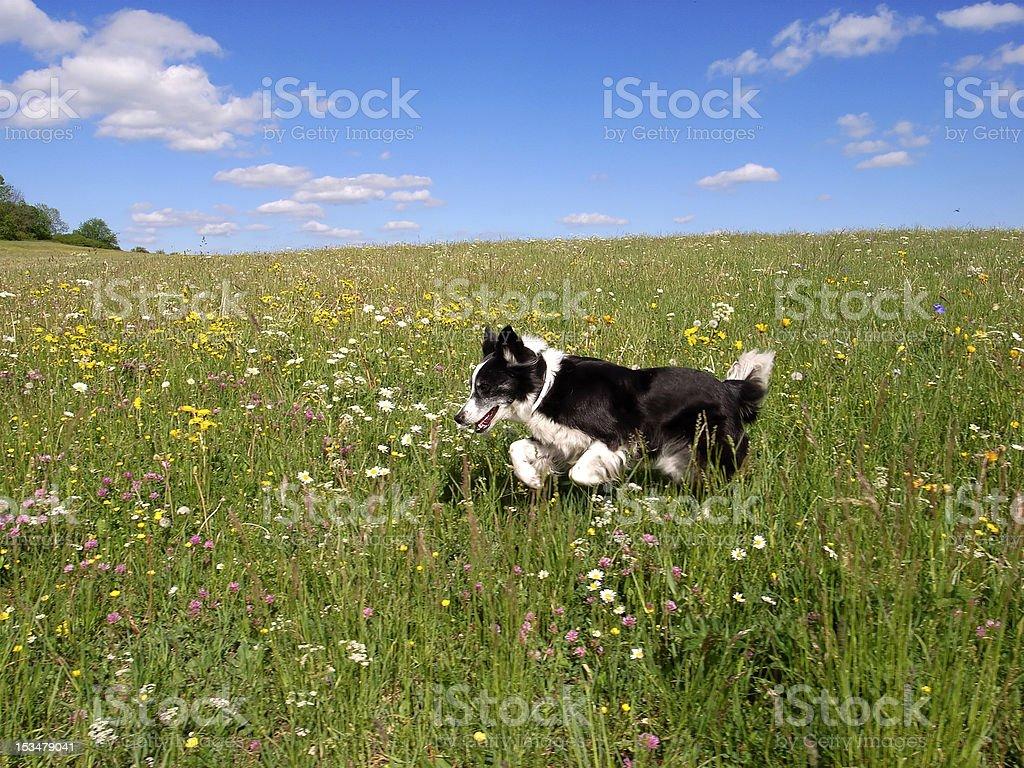 Hund (Border-Collie Mix) springt auf einer Frühlingswiese stock photo