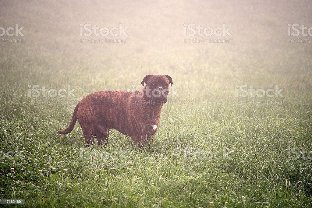 Hund steht im Nebel royalty-free stock photo