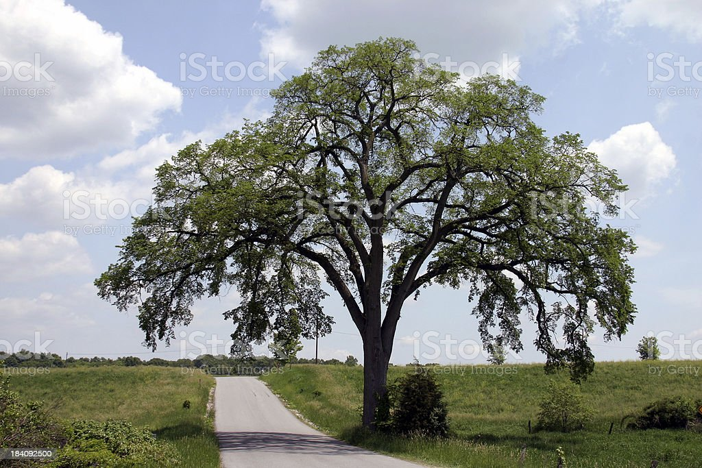 Hundred Year Old Elm Against Blue Sky stock photo