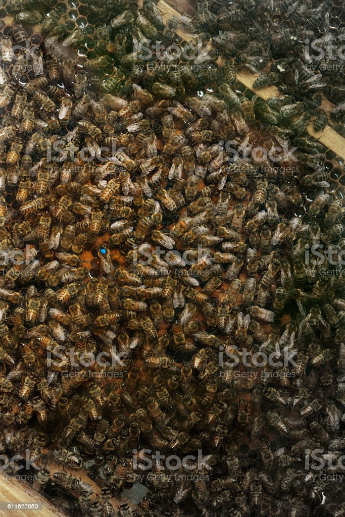 hundreds of bees and queen with blue mark on honeycomb stock photo