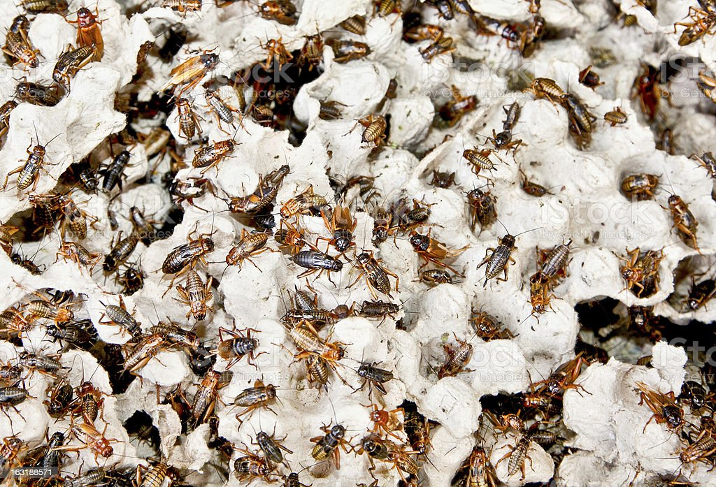 Hundreds of brown cockroaches in their habitat royalty-free stock photo