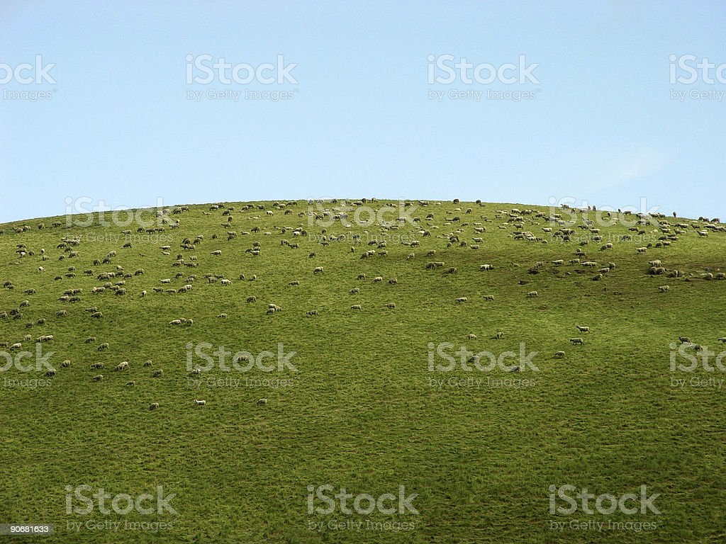 Hundreds of Sheep Grazing on a Hill royalty-free stock photo