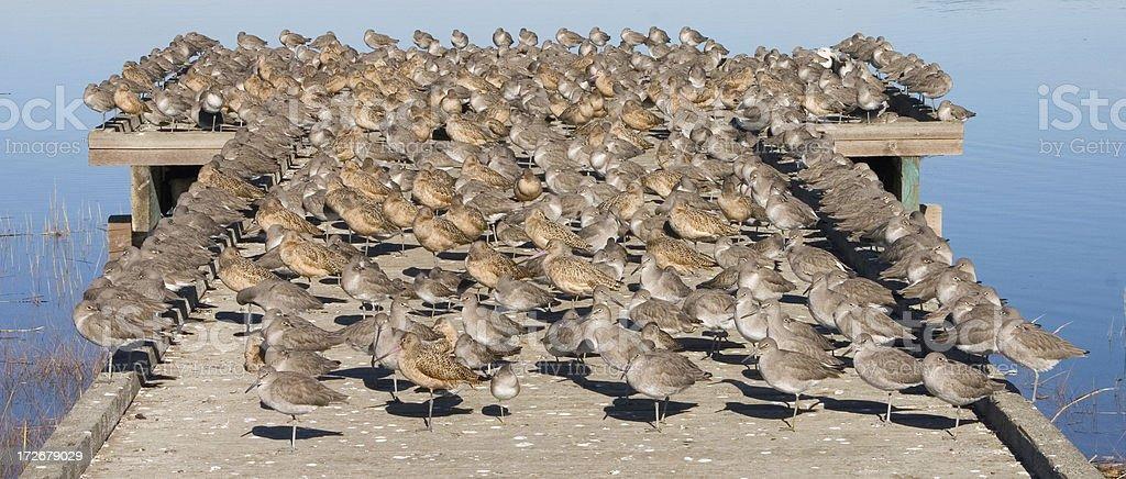 'Hundreds of Shorebirds on a Pier, San Francisco Bay' stock photo