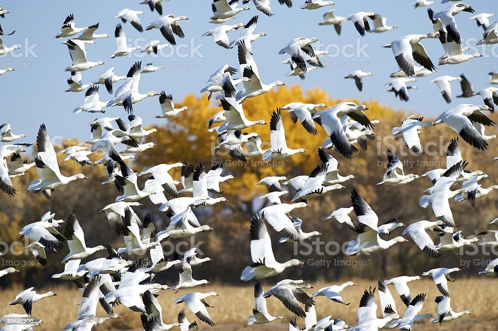 Hundreds of snow geese in flight. stock photo