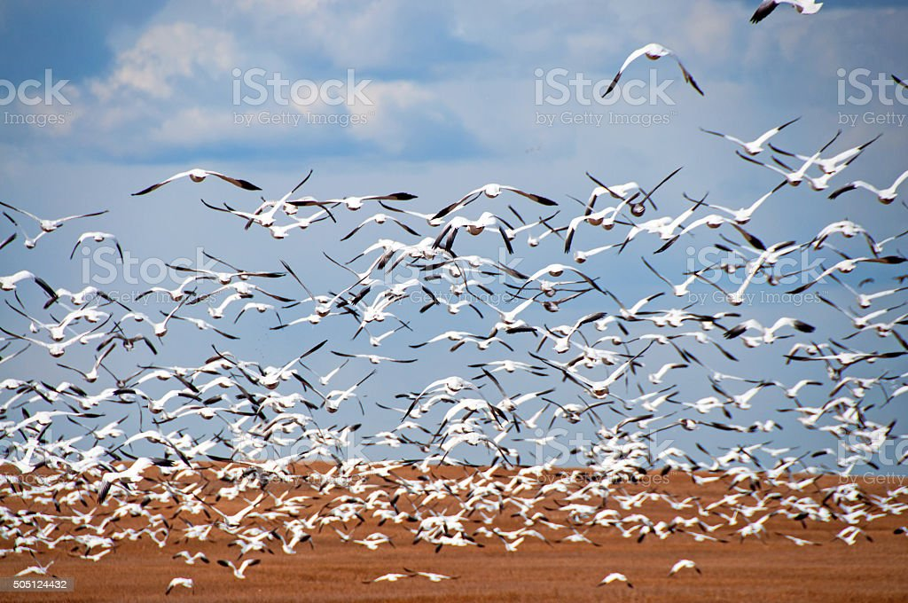 Hundreds of Snow Geese leaving stubble harvested wheat field stock photo