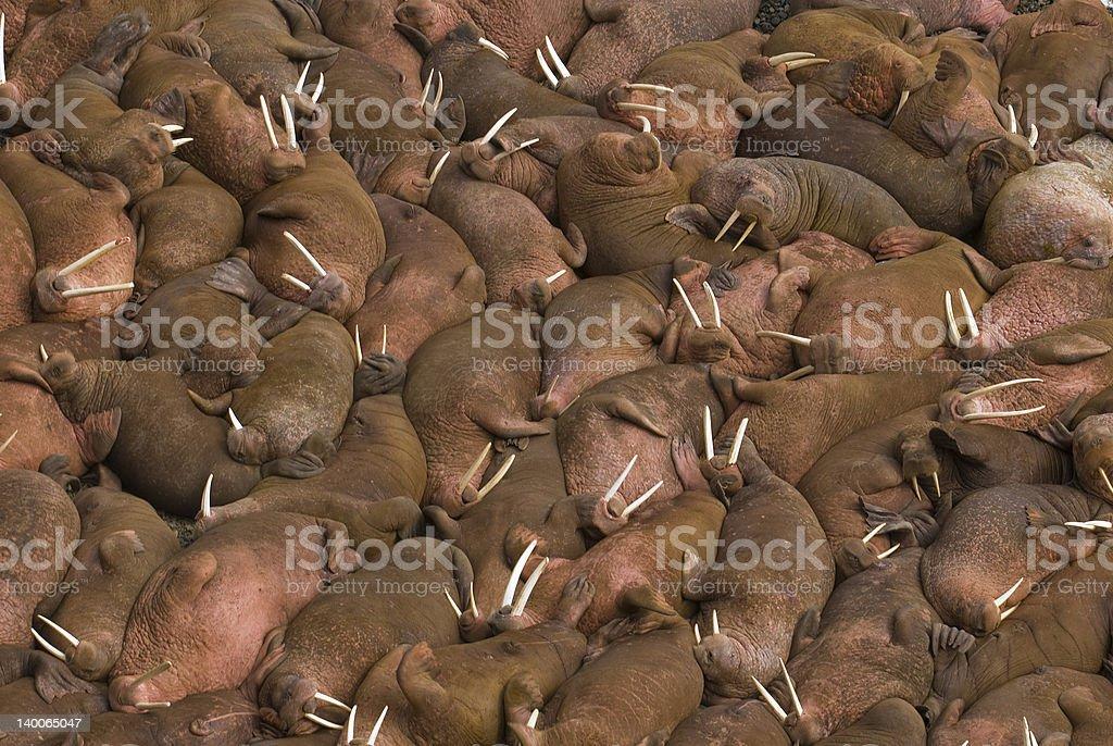 Hundreds of walruses on the beach at Round Island, Alaska. stock photo