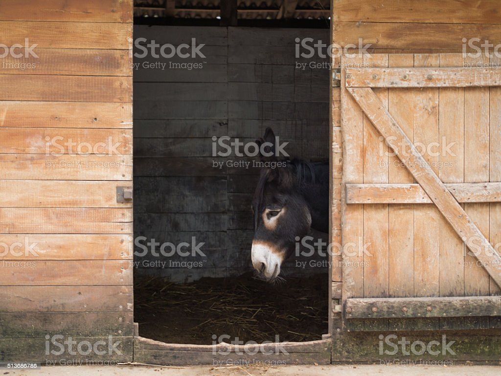 hungarian black donkey and the wooden door stock photo