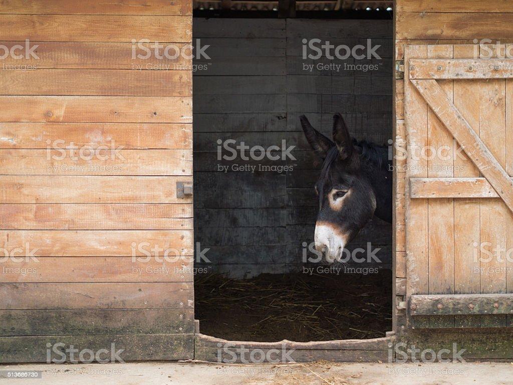 hungarian black donkey stock photo