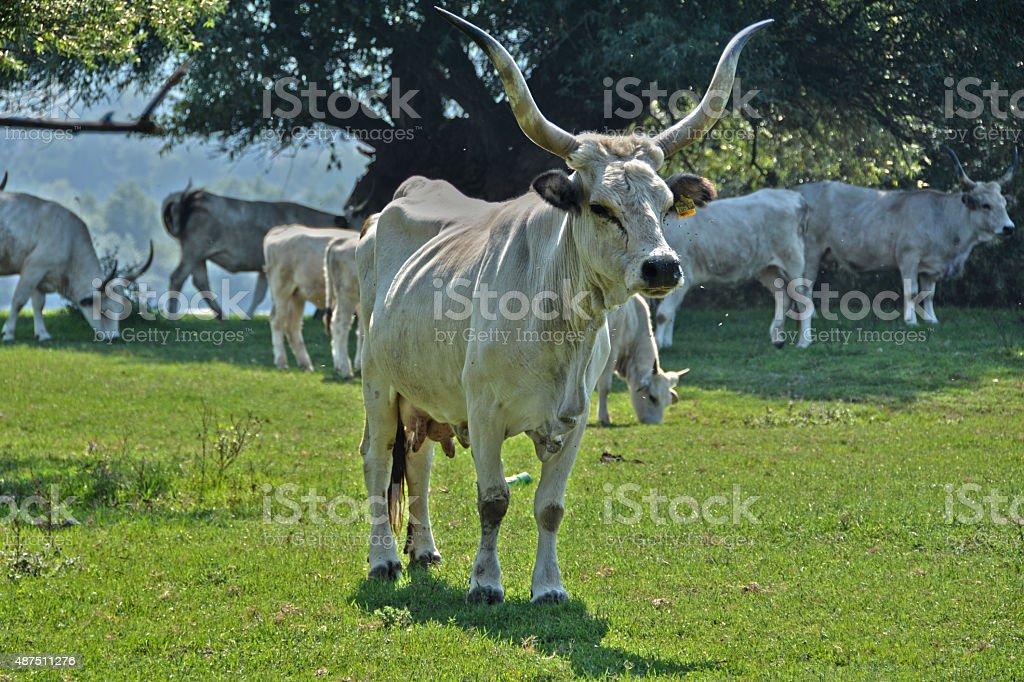 Hungarian gray cattle - Stock image stock photo