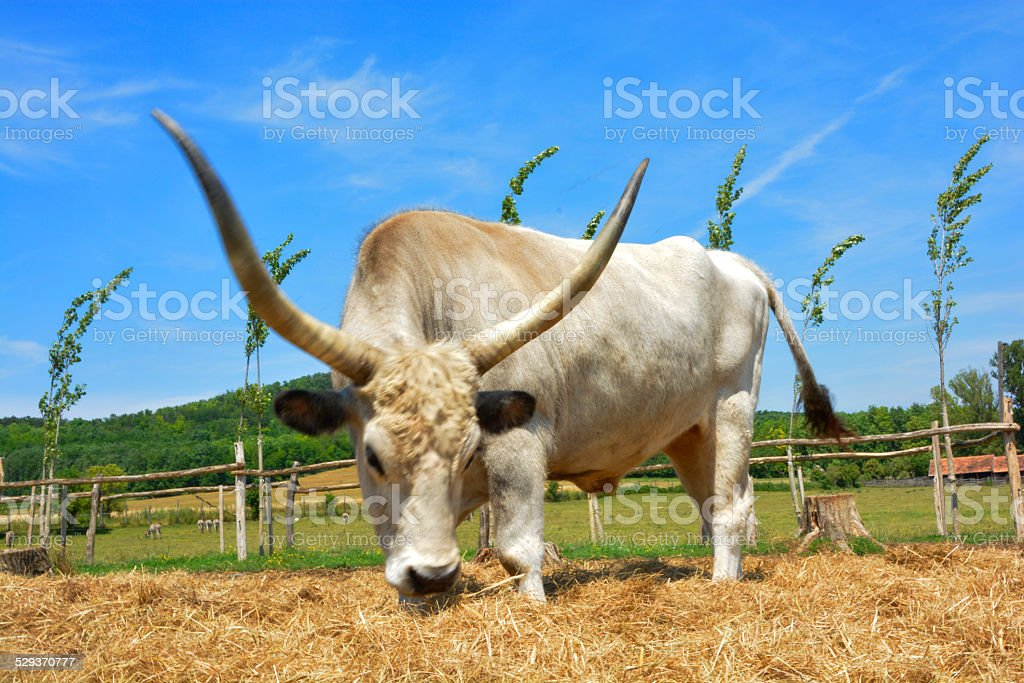 Hungarian grey cattle stock photo