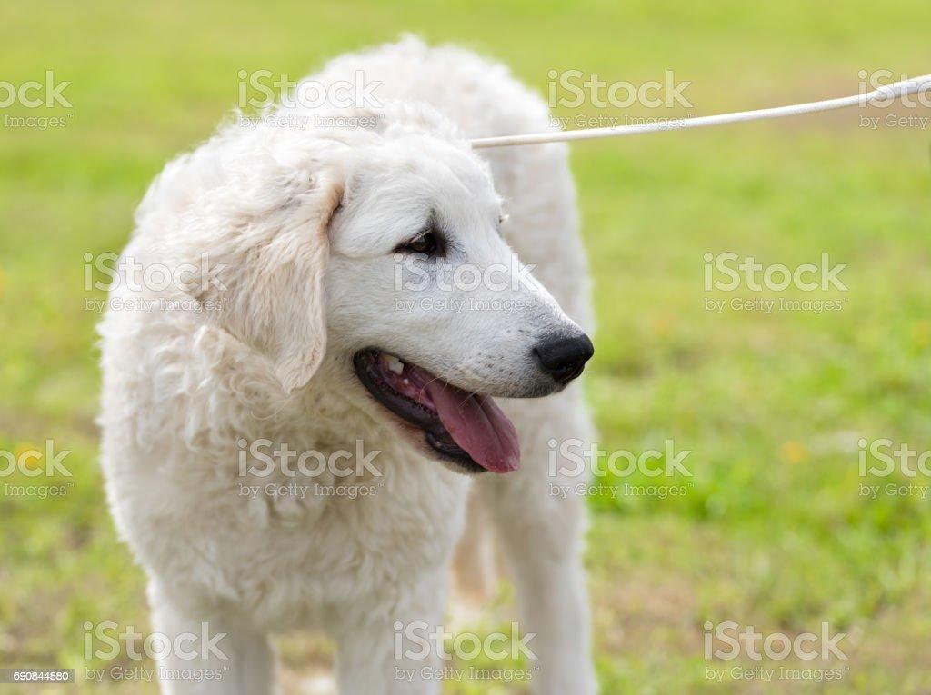 Hungarian Kuvasz dog in the park stock photo