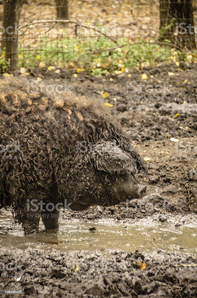 Hungarian 'Mangalica' Pig stock photo