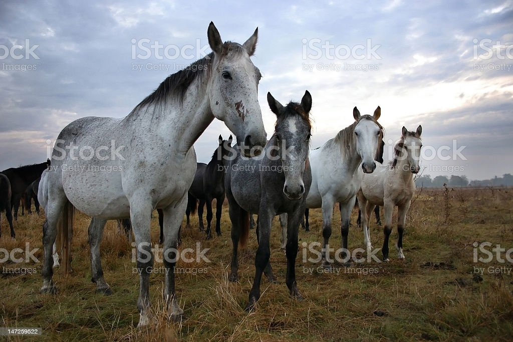 Hungarian Mustangs royalty-free stock photo