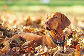 Hungarian Vizsla dog lying outdoors around fallen autumn leaves