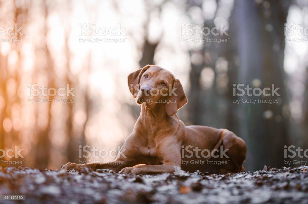 Hungarian vizsla dog stock photo