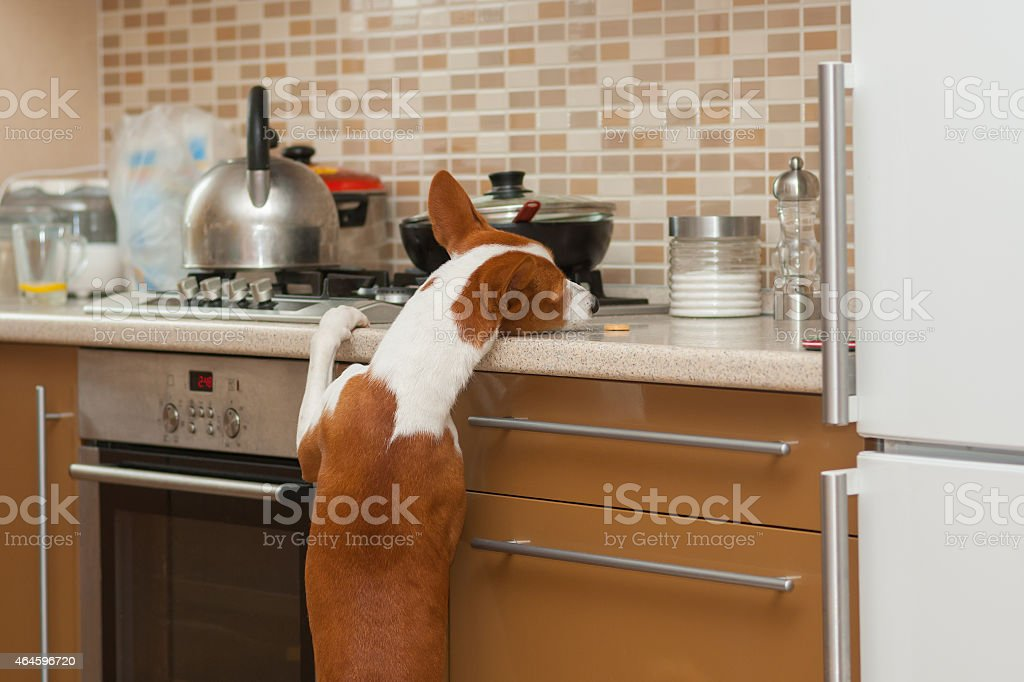 hungry  basenji dog is trying to reach for cookie stock photo