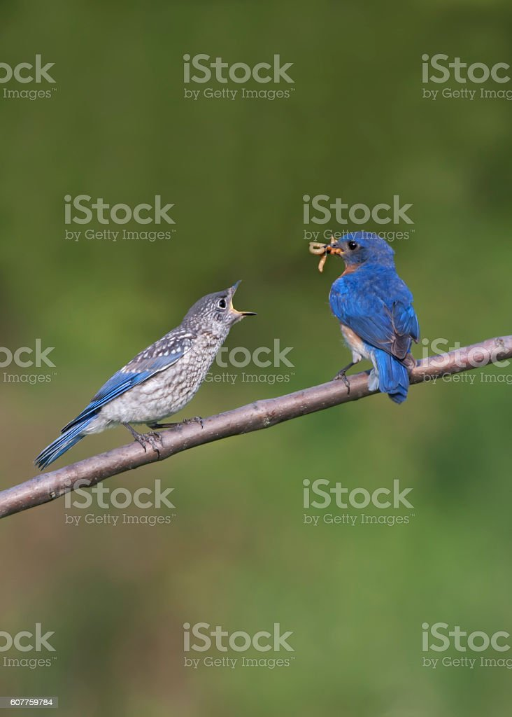 Hungry Bluebird Fledgling Begs for Food stock photo